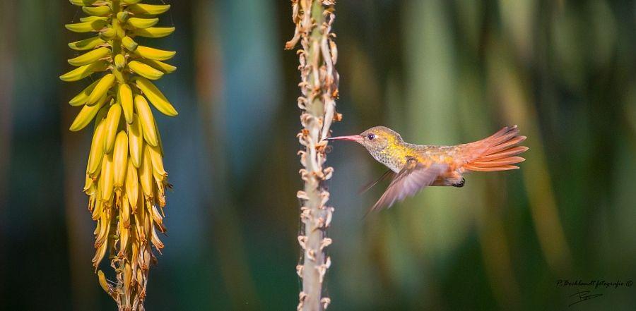 Hummingbird in flight by Peter Bocklandt - Photo 183291779 / 500px