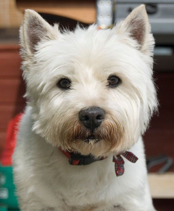 Top 10 Small White Dog Breeds White Dog Breeds Dog Food Recipes White Dogs