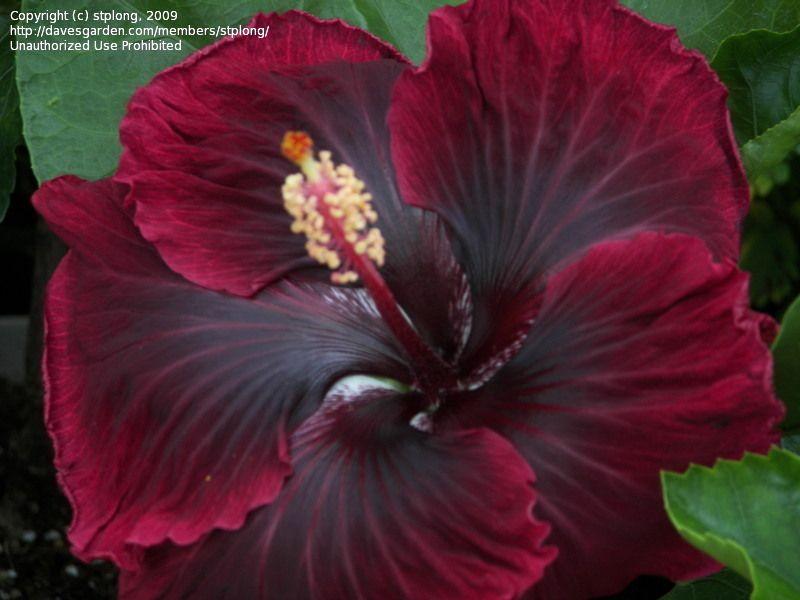 Hibiscus Cajun Black Dragon Rosa Sinensis 6 By