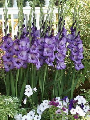 Allium Ampeloprasum Spanish Allium Gladiolus Flower Flower Garden Gladiolus