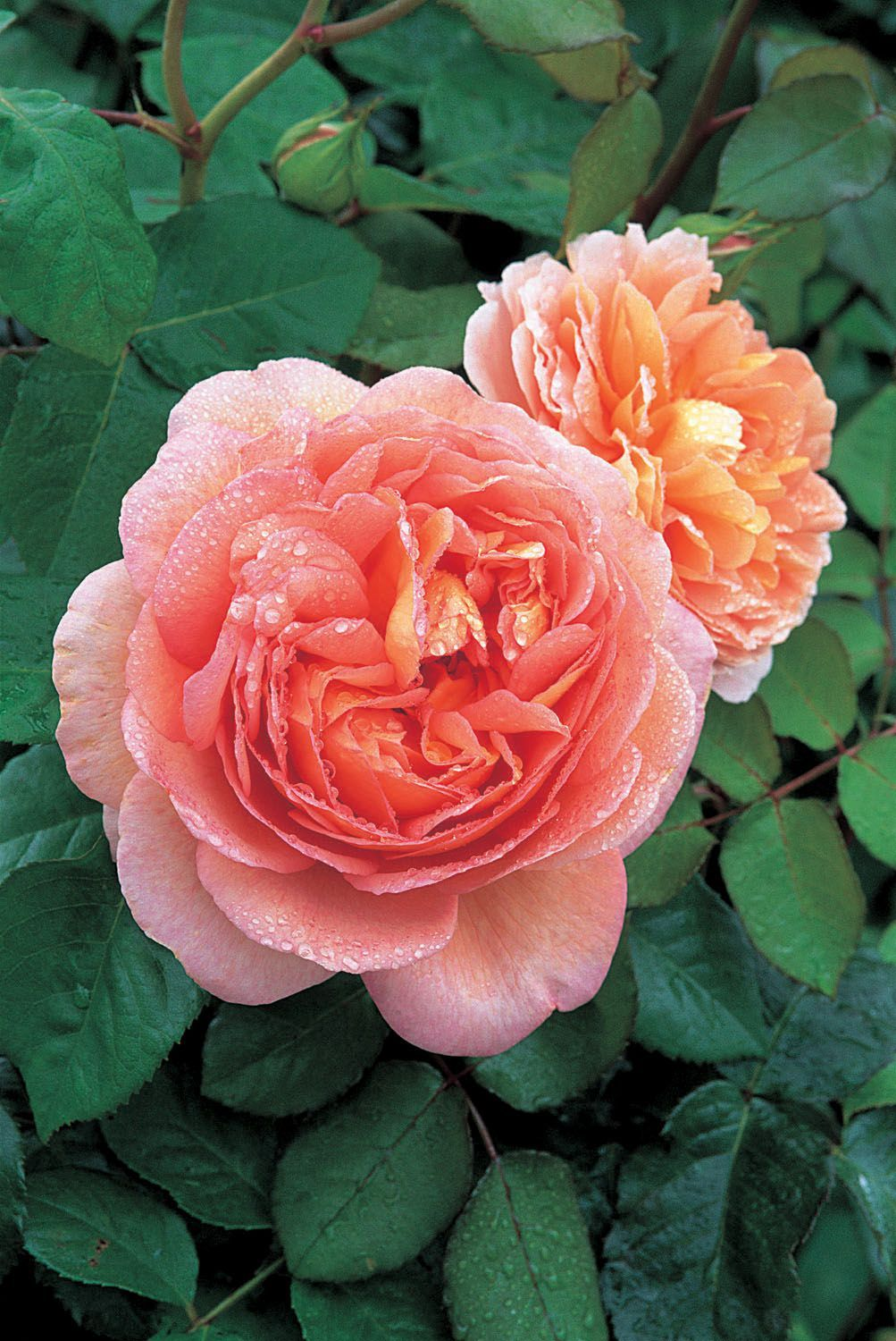 Rosier anglais, coloris orange Hybrides de thé, Roses
