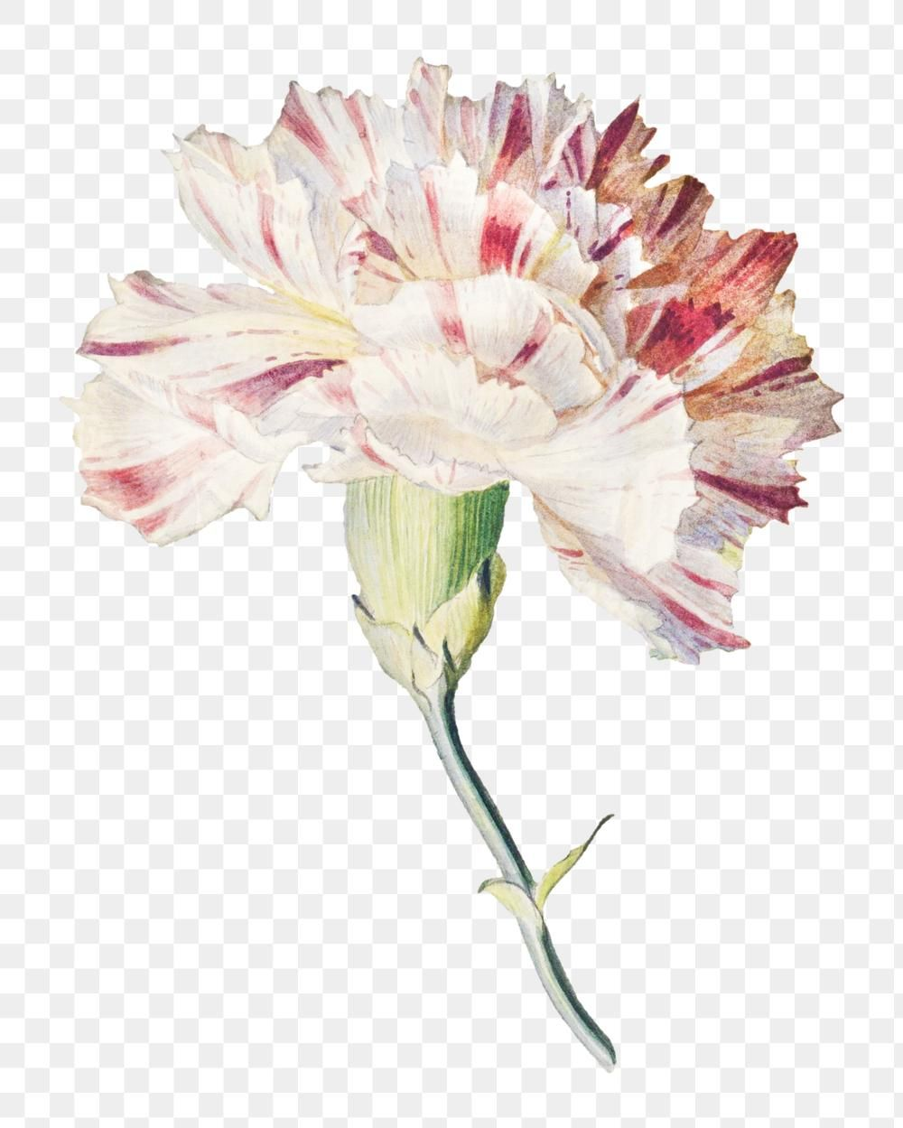 Blooming Carnation Design Element Free Image By Rawpixel Com Aom Woraluck In 2020 Carnation Flower Design Element Border Design