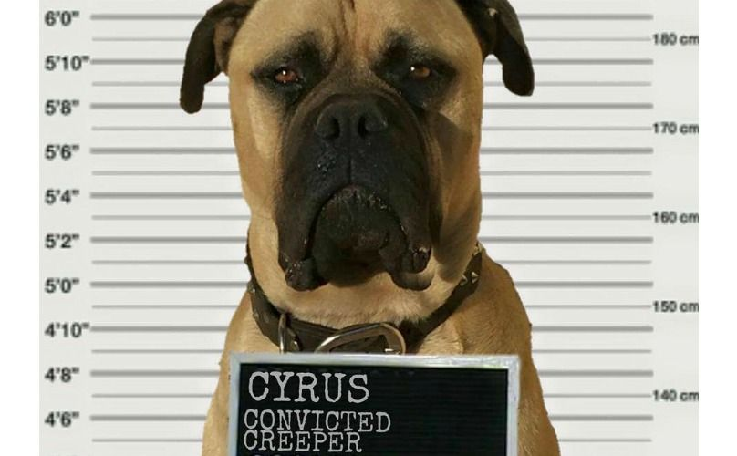 Meet Creepy Cyrus The Bullmastiff Who Is Probably Watching You Right Now Dogs Dogs Of The World Funny Dogs