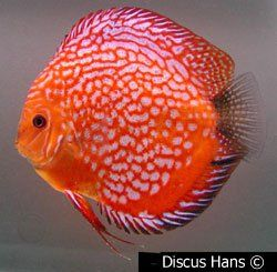 Red Pigeon Blood Discus Fish