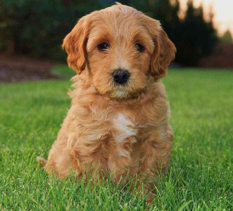 Apricot Labradoodle puppy! Lincoln Honden