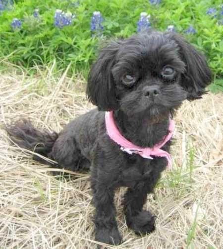 Black Shih Poo Dog Shih Poo Shih Tzu Shih Tzu Puppy