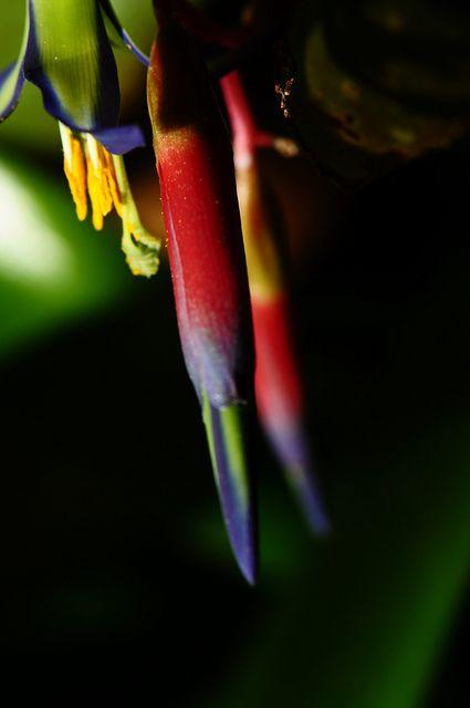 Billbergia nutans, Queen's tears bromeliad   Flickr - Photo Sharing!