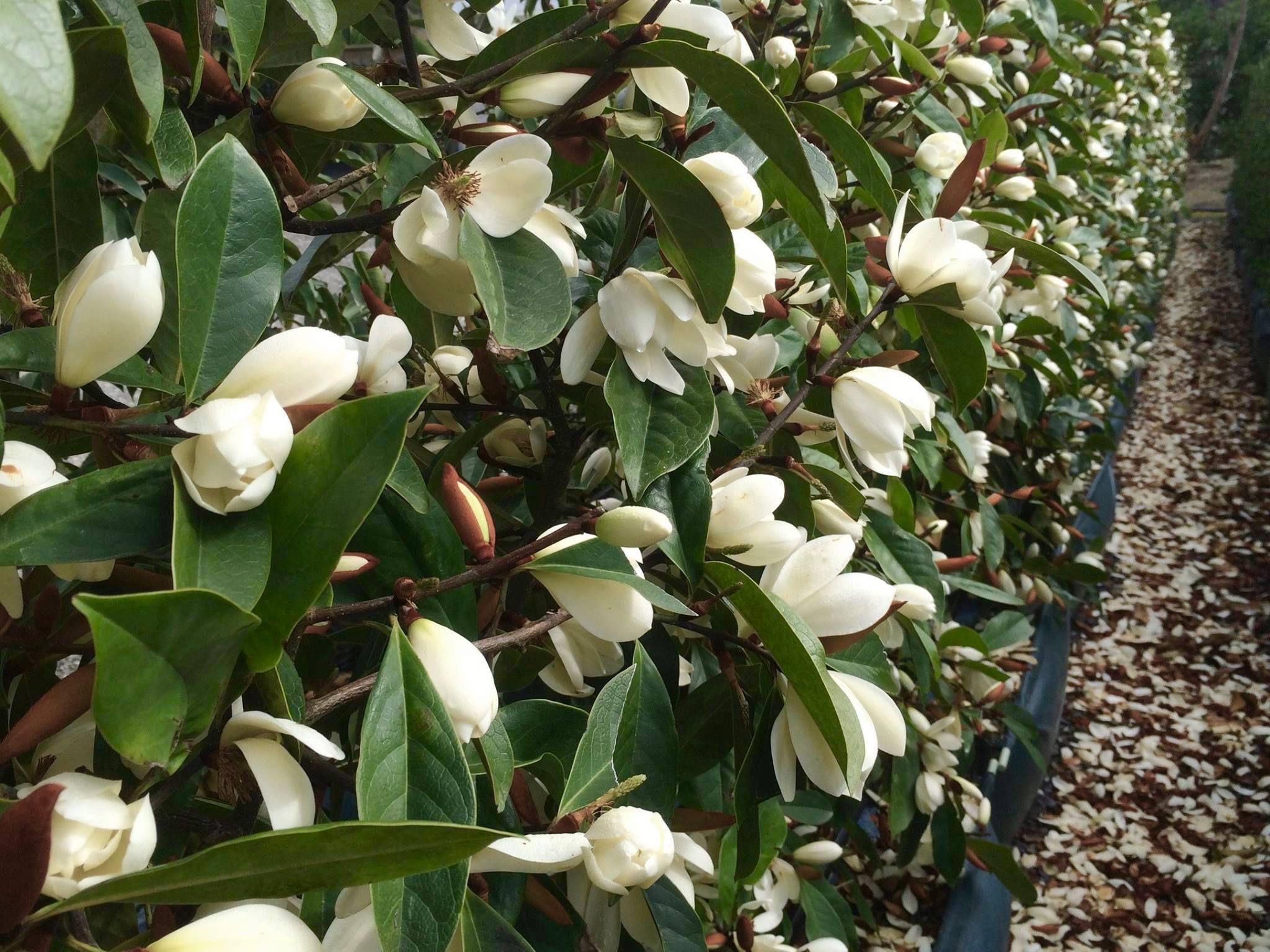 The Fairy Magnolia Cream Flowering Starts September In Nz Plant