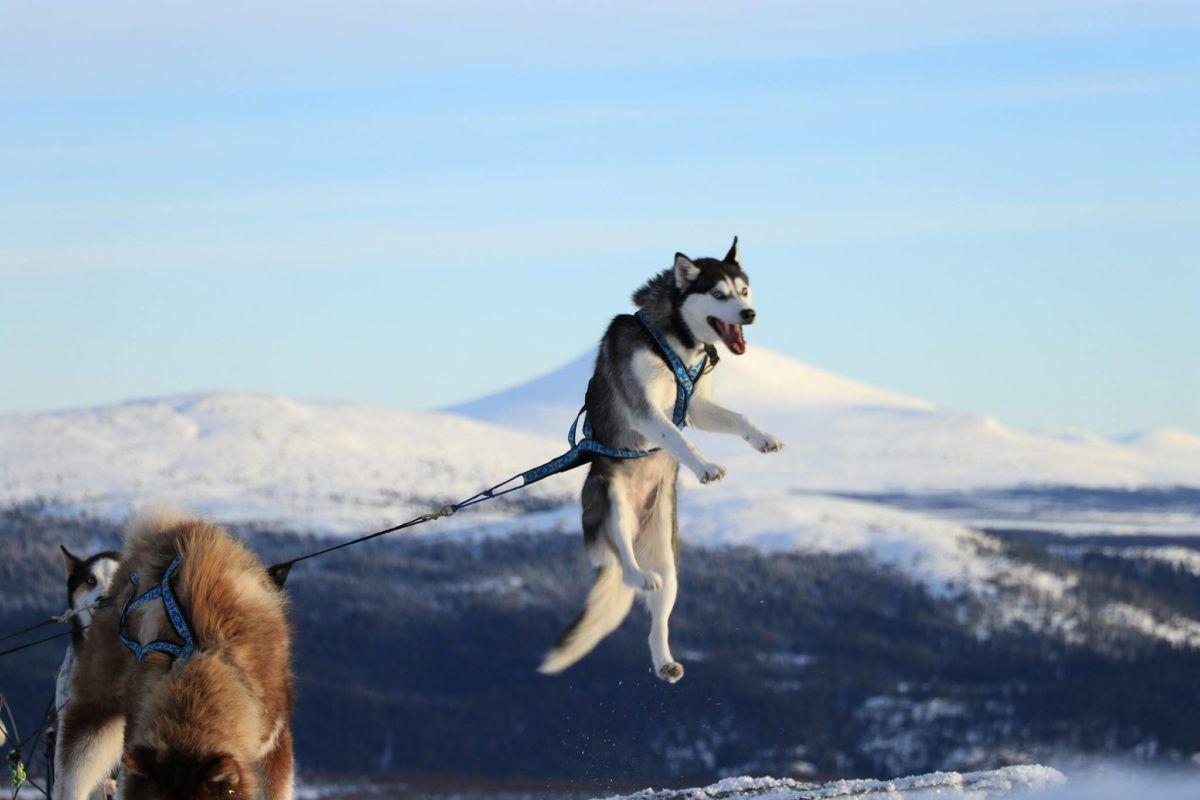 A Quel Age Un Chien Peut Il Commencer A Tirer Animals Dogs Husky