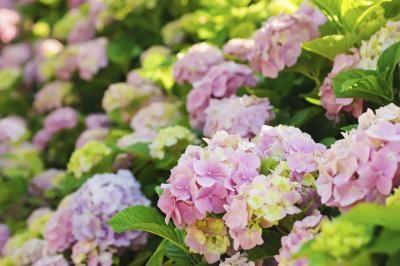 Are Hydrangeas Perennials or Annuals?