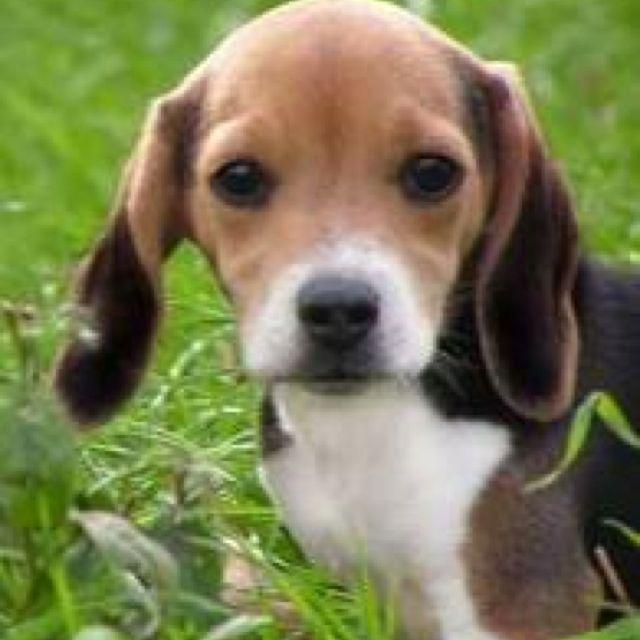 Pin By Wendi Thomas On Beagles Cute Beagles Beagle Puppy
