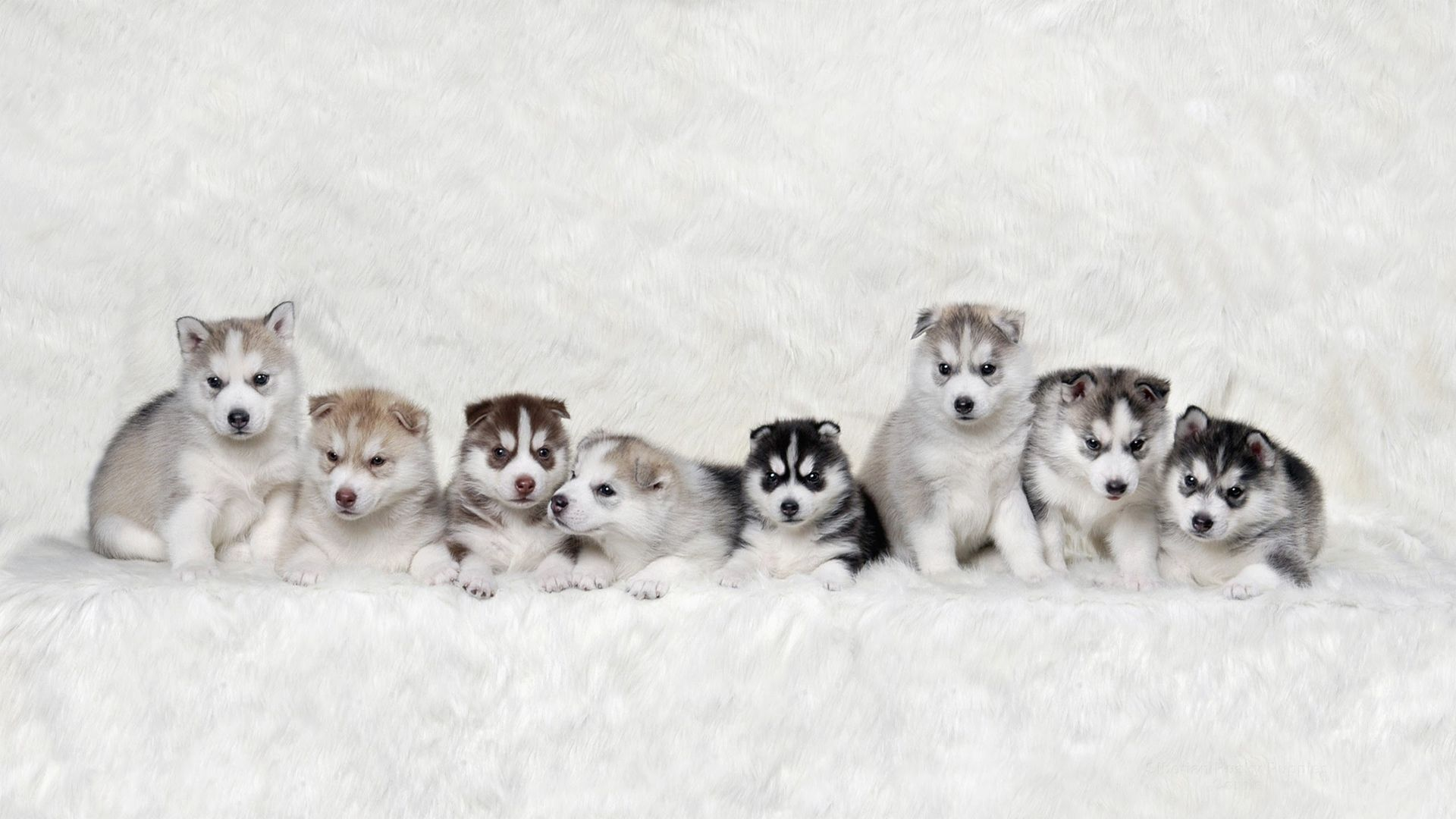 Litter Of Siberian Huskies Adorable 1920 1080 For Your Desktop Puppy Wallpaper Winter Puppy Cute Dogs Breeds