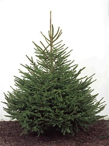 Norway Spruce - my favorite tree for Christmas - Norway Spruce - My Favorite Tree For Christmas Norwegian Christmas
