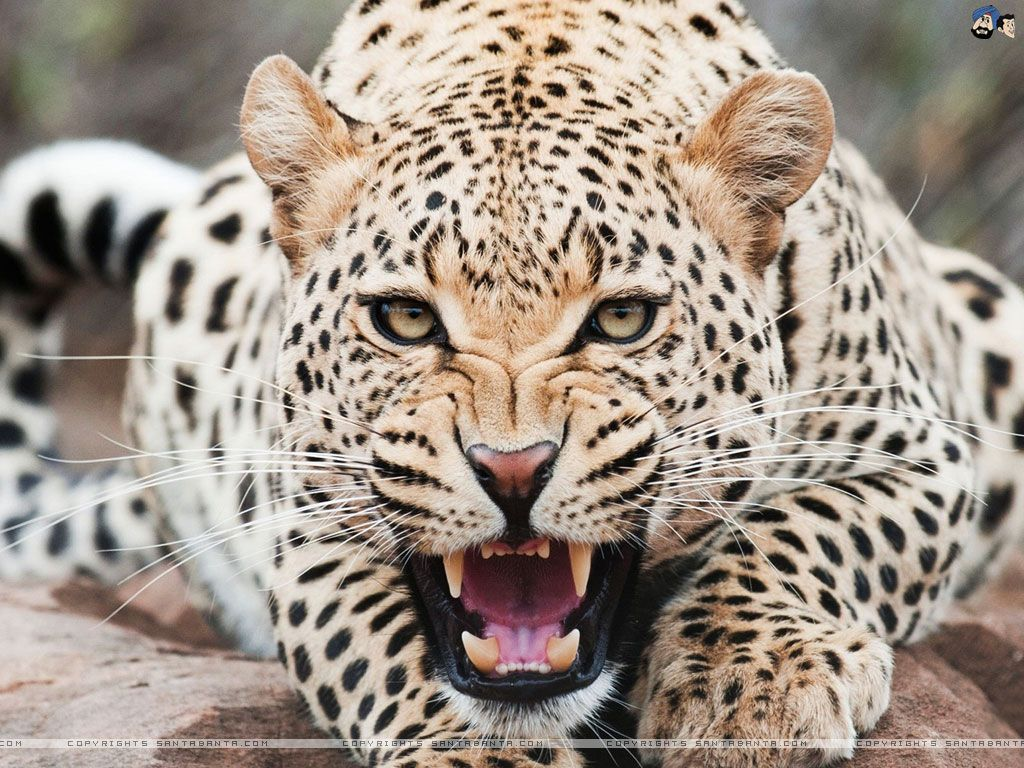 Google themes leopard - Leopards Google Search