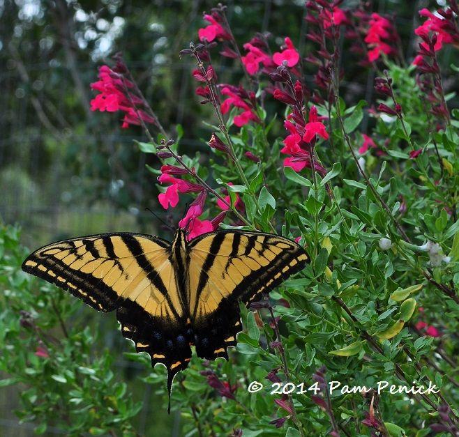 An Eastern Tiger Swallowtail Butterfly In The Salvia Greggii | Digging |  Welcome!! Scroll Through My Butterfly Garden | Pinterest | Salvia, Texas  Gardening ...