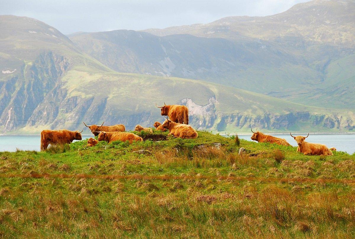 Highland Cattle Isle Of Jura Isle Of Jura Highland Cattle Scotland History