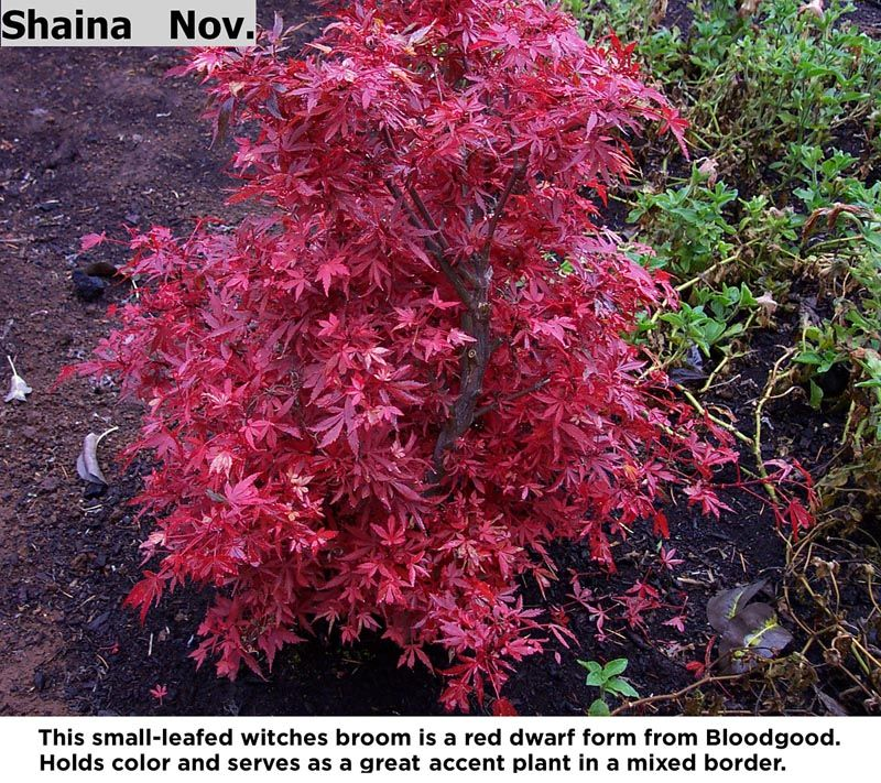 Shaina This Small Leafed Witches Broom Is A Red Dwarf Form From Bloodgood Holds Color Japanese Maple Tree Landscape Japanese Maple Tree Maple Tree Landscape