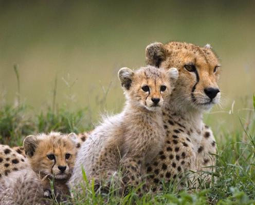 cute cheetahs you can say that again cute cheetahs