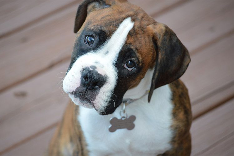 Will Neutering My Male Dog Affect His Size Boxer Puppies Boxer