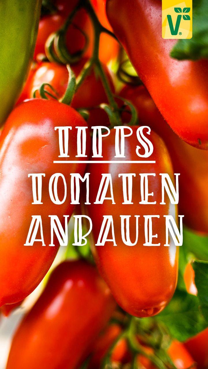 Tomaten Anbauen Der Beste Standort Fur Tomaten Plant Happy In 2020 Tomaten Tomaten Anbauen Fruchte