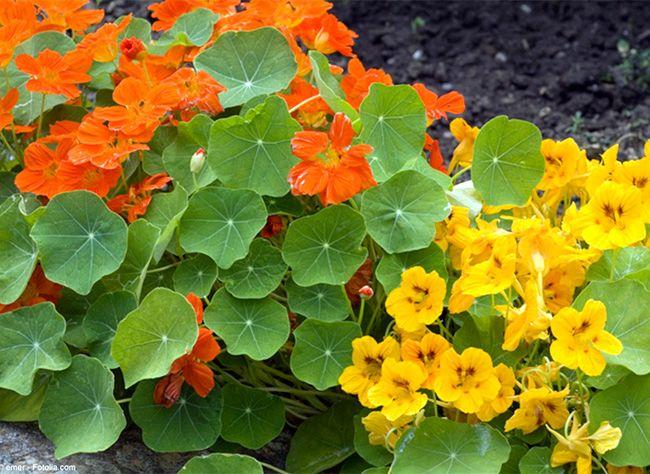 capucine fleur comestible a planter pr s de la cuisine. Black Bedroom Furniture Sets. Home Design Ideas