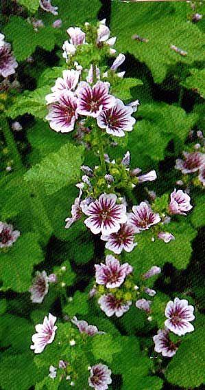 Propiedades De La Malva Para Qué Sirve Propiedades Medicinales Flores Malva Plantas