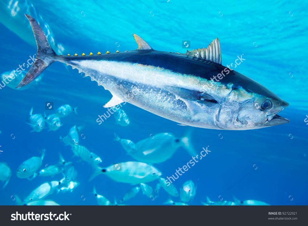 Bluefin Tuna Thunnus Thynnus Saltwater Fish Stock Photo