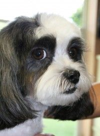 Doggie Styles Vermont Tips And Links Shih Tzu Funny Shih Tzu