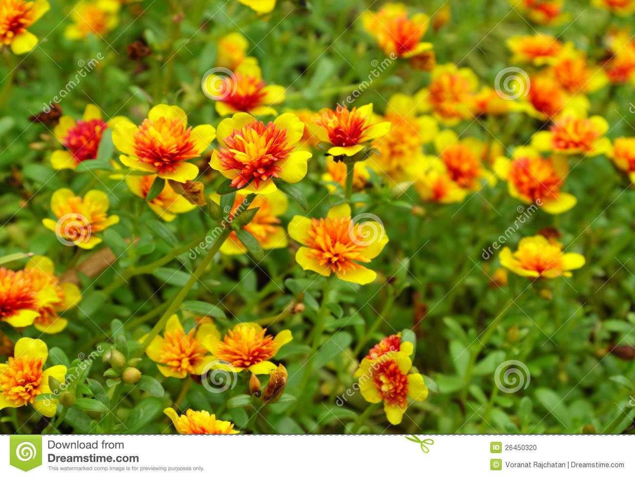 Purslane  Yellow + Orange  Good Ground Cover If Needed, Easy To Grow, Es In Yellow, Apricot And An Orange As Well Perfect As A Low Plant In A  Pot,