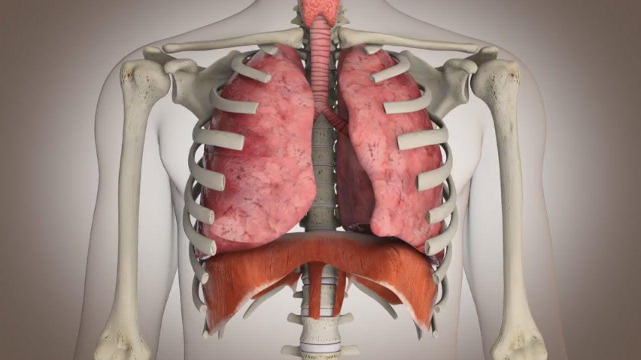 El funcionamiento del sistema respiratorio | colegio ciencias ...