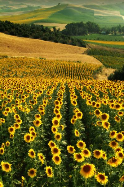 Sunflowers The Perfect Dream Would To Run Through The Sunflower Hills Without A Worry Of Being Stung Sunflower Fields Landscape Andalusia