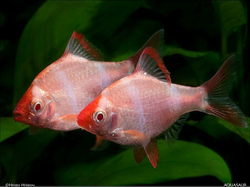 Puntius Tetrazona Tiger Barb Systomus Tetrazona Systomus Sumatranus Aquarium Fish Pet Fish Fresh Water Fish Tank