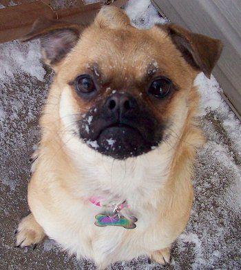 Lil Dixie Belle She Is A 1 Yr Old Pug Pomeranian Pom A Pug