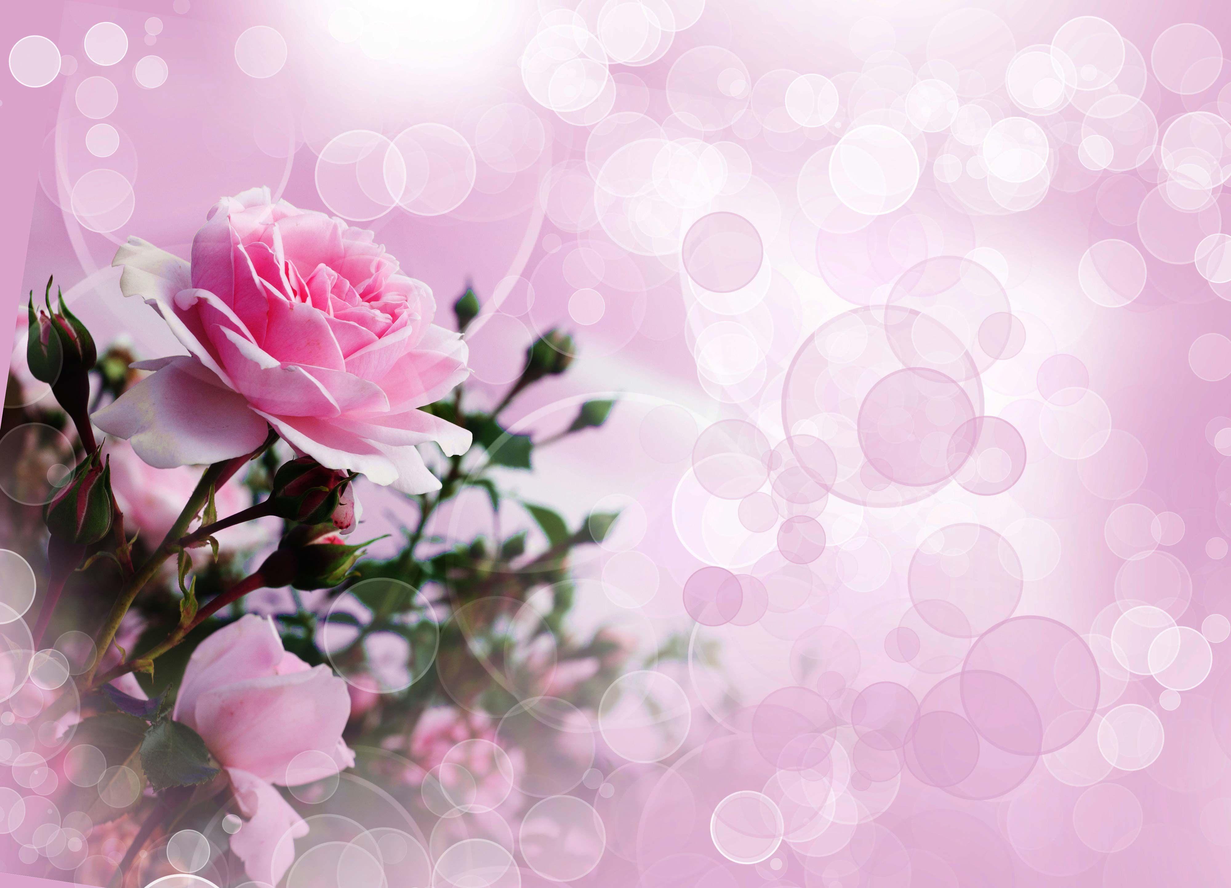 Pink Rose Wallpaper In 2020 Pink Rose Pictures Pink Roses
