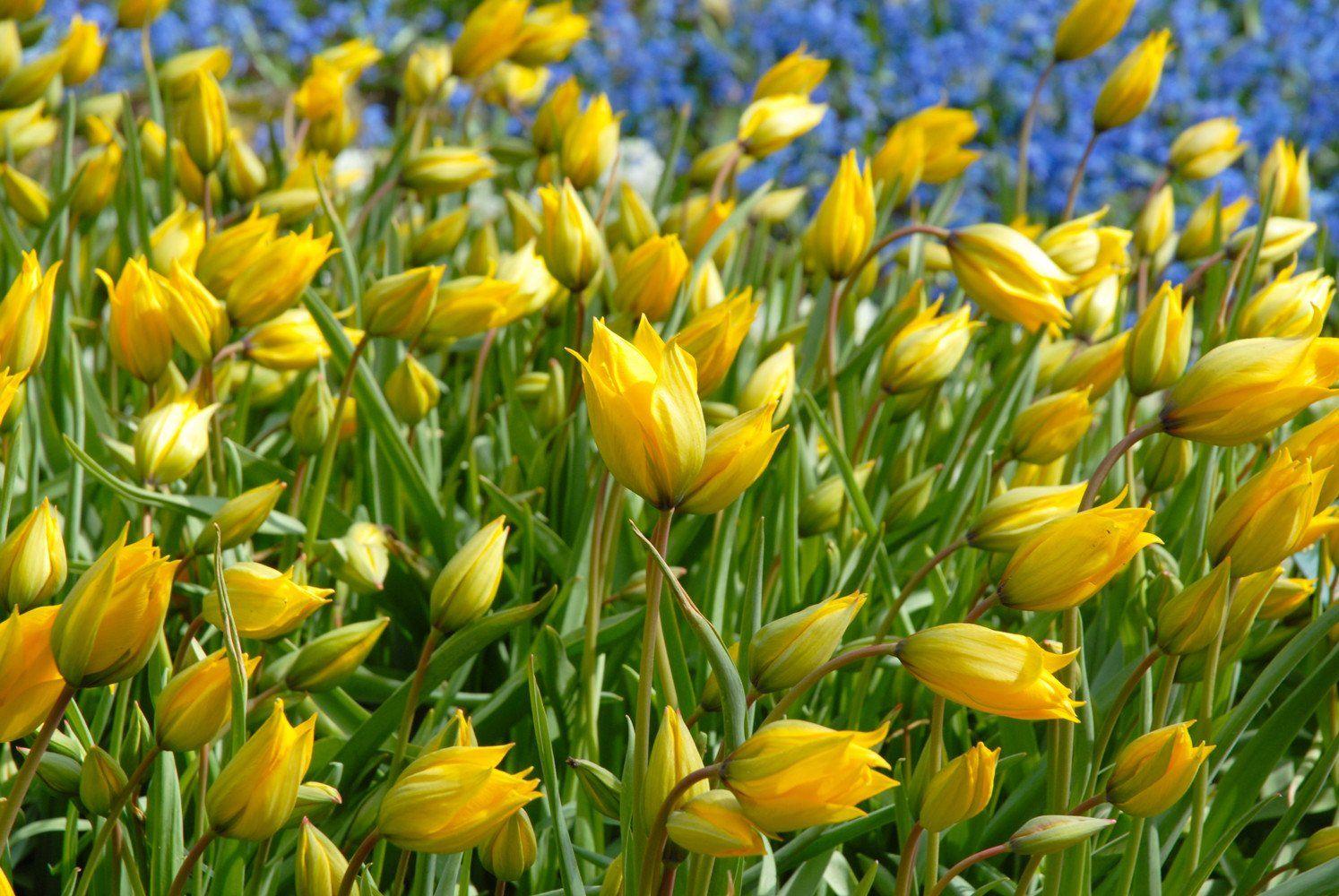 Tulip Sylvestris Top size bulbs Tulips, Bulb flowers