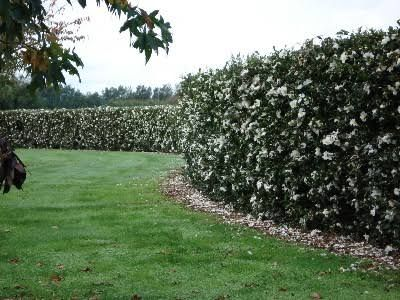 White Camellia Sasanqua Hedge Google Search Hedges Landscaping Garden Hedges Hedges
