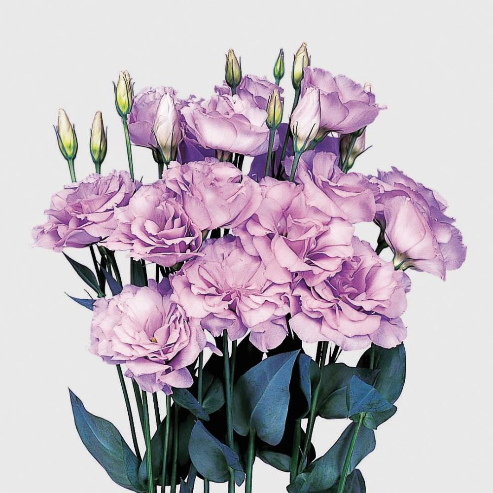 Echo Lavender In 2020 Flower Pots Large Flowers Echo
