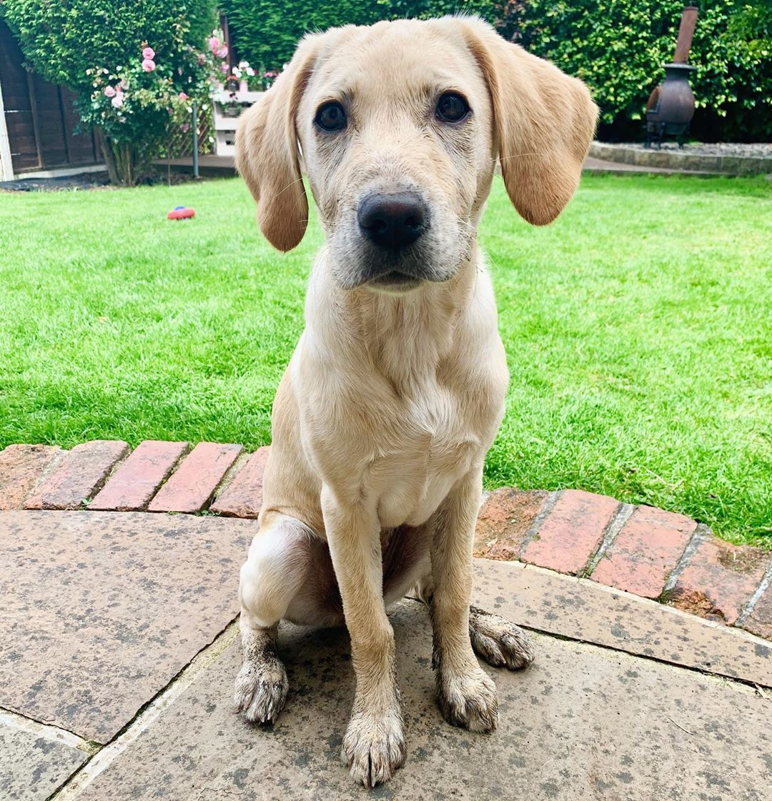 I wonder who's been digging up my garden 🤔🐾🐾 • • • • • #goldenlab #goldenlabrador #labrador #labradorsofinstagram #labradoroftheday #dogoftheday #instalabs #dogsofinstagram #puppiesofinstagram #instadog #laboftheday #labradorable #petoftheday #petsofinstagram #labrador_lovers #worldoflabs #goldengirl #talesofalab #labrador_class #labradorable #laboftheday #labradors4life #labradorlove #puppy #puppies #tonguesouttuesday #tuesdayvibes #tuesday #tuesdaymood