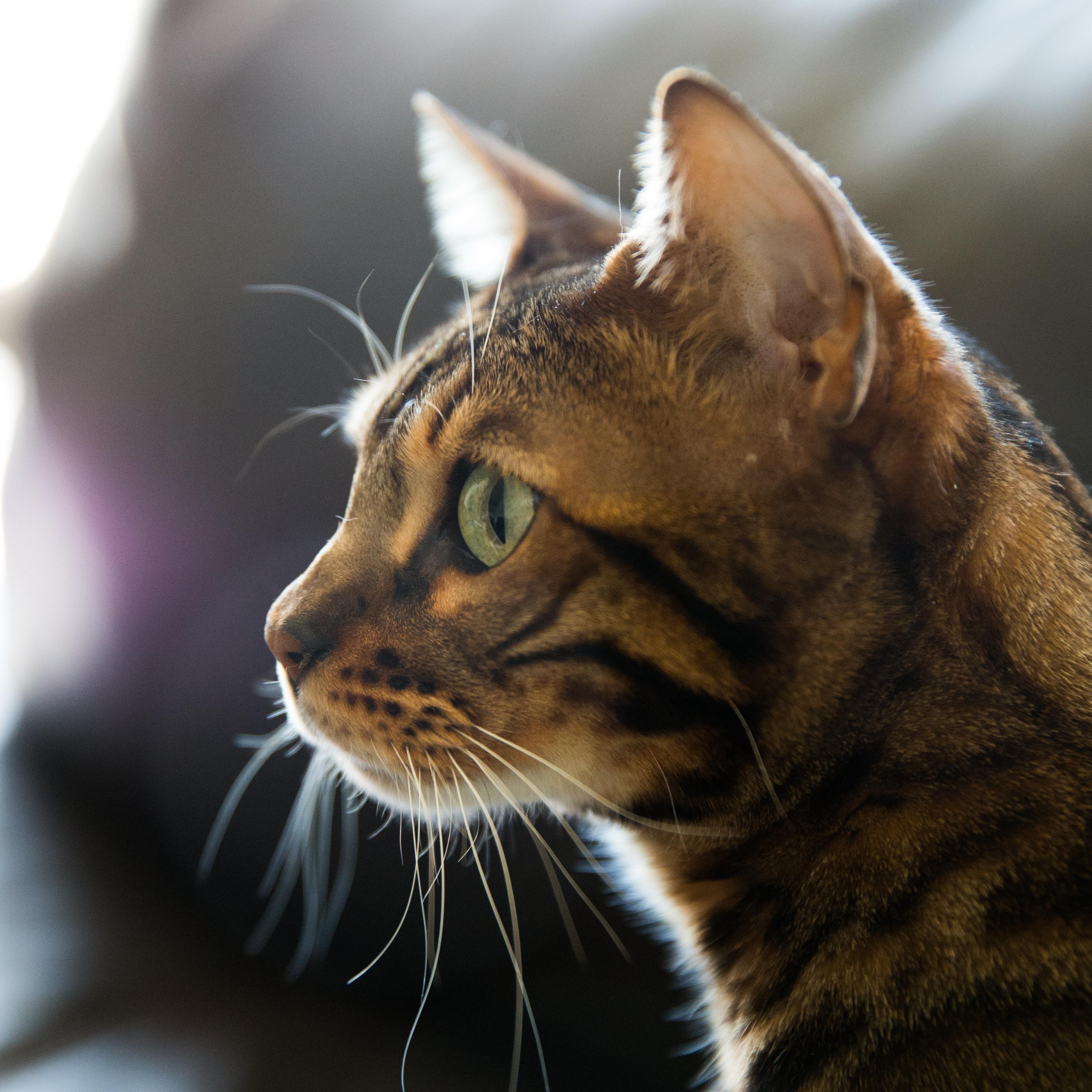 Profile of my boy Oni http//ift.tt/2l30BQS Rare cats