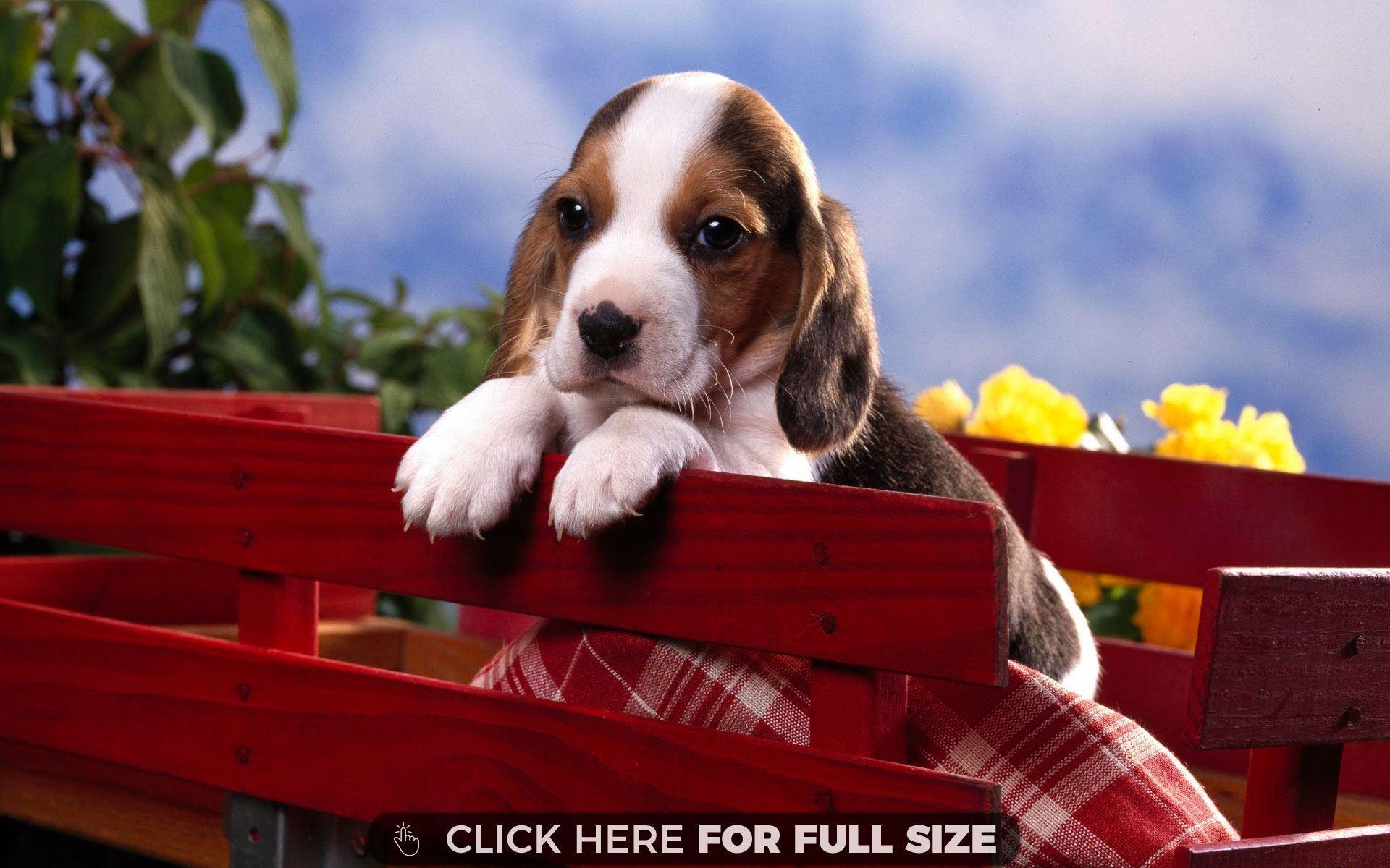 Beagle Pupp Beagle Puppy Beagle Puppy Puppy Wallpaper Cute