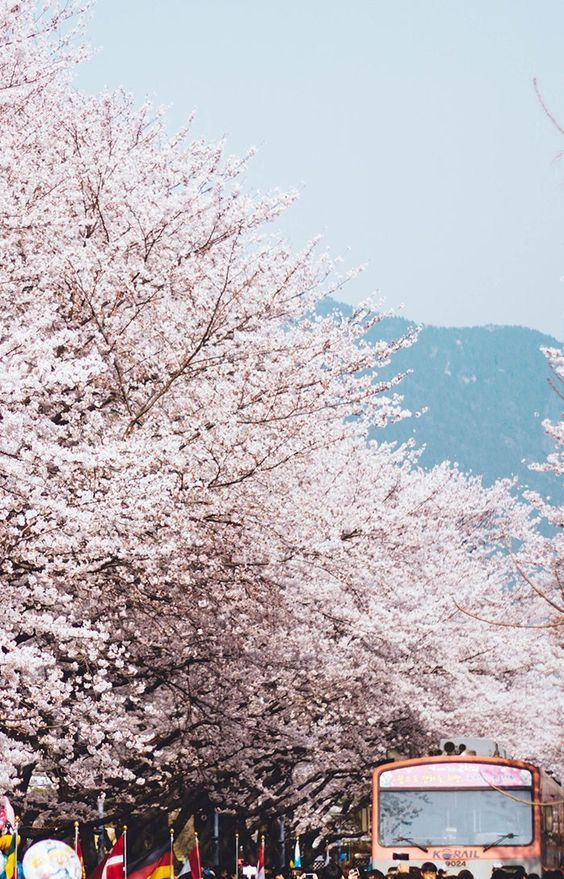 Cherry Blossoms Korea 2021 A Forecast Guide Where To Go Korea Travel South Korea Photography Travel Destinations Asia Japan