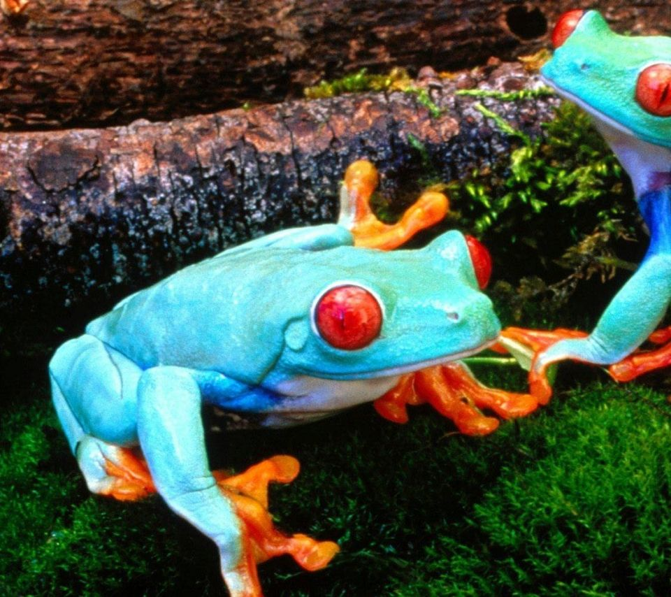 Tree Frog , Download 960x854 frogs redeyed tree frog