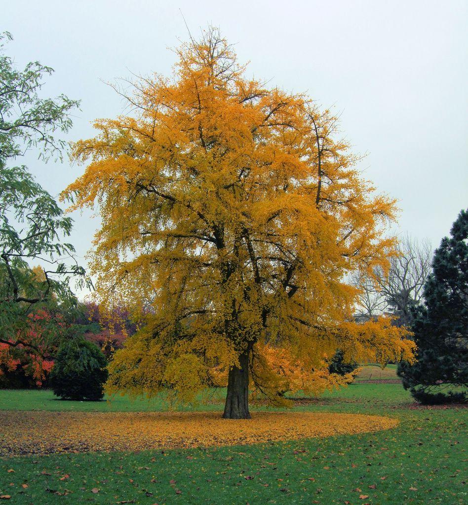 IMG_7090 The Maidenhair Tree, Kew Gardens | 15th November, 2… | Flickr