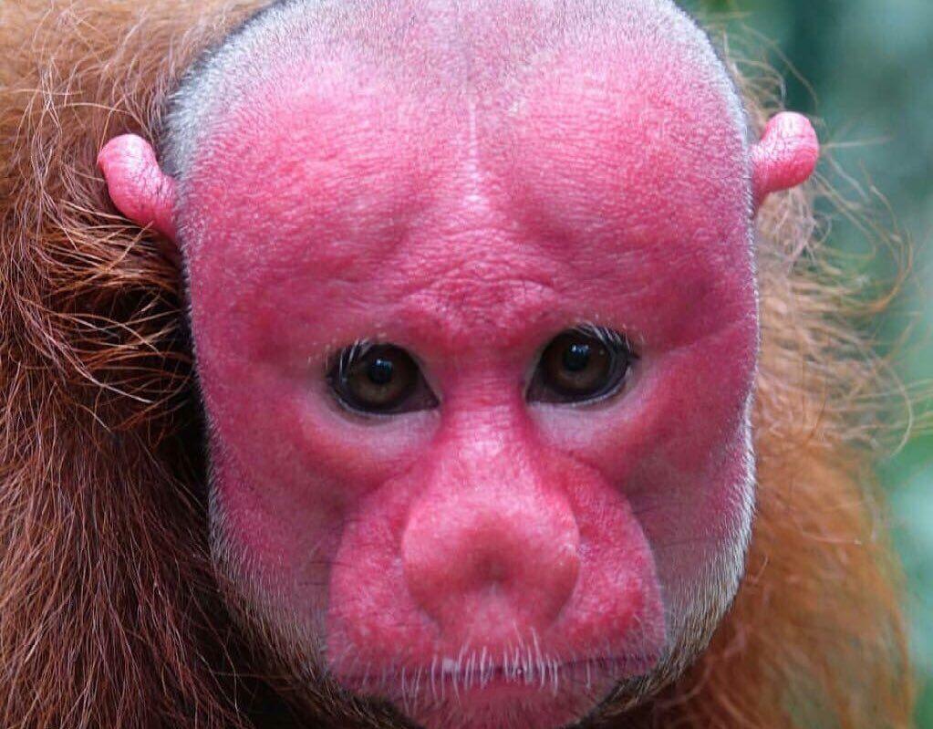 قرد الوكاري يتميز بوجه أحمر ورأس أصلع يتركز وجوده في الغابات المحيطة بنهر الأمازون كما أن أعداده قليلة جدا وبسبب سرعته العالية لا يمكن Animals Monkey Red