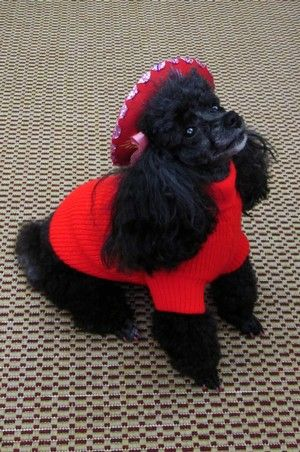 Poodle With Her Red Jacket And Sombrero Too Cute Puppied Poodle