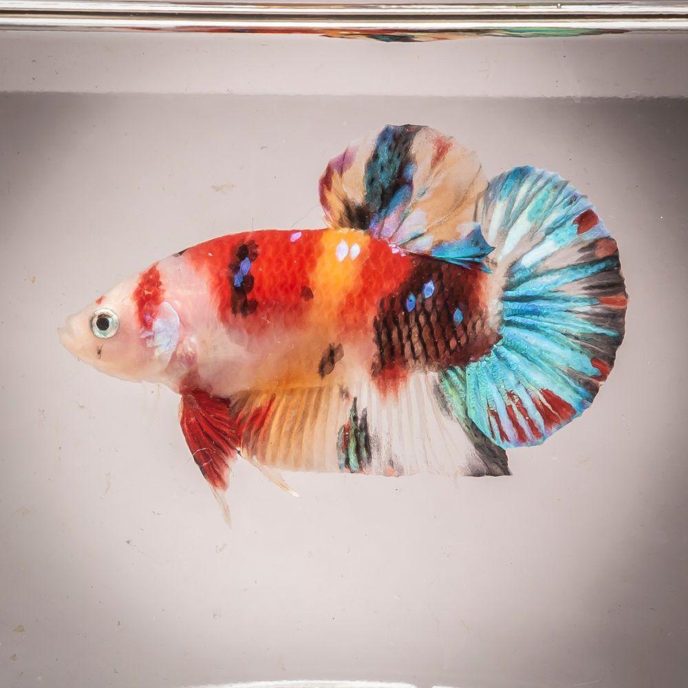 Hmpk Nemo Koi Breeding Pair Live Fish Usa Based Seller Bp0003 Betta Fish Live Fish Fish