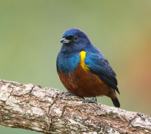 (via 500px / Chestnut-bellied Euphonia by Paulo Guerra)