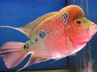 prooven pair of flowerhorns for sale..