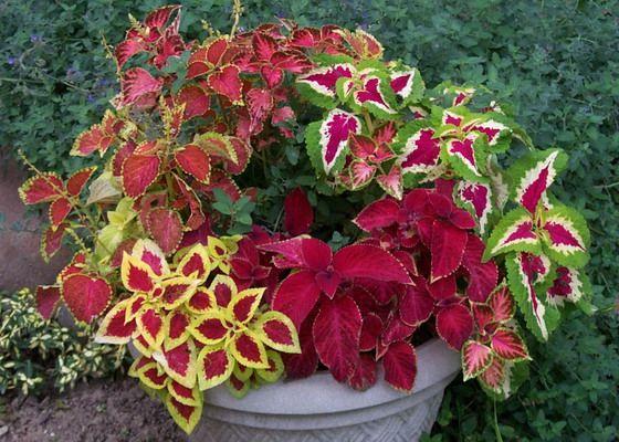 Цветы колеус комнатный   Однолетние растения, Цветочные ...