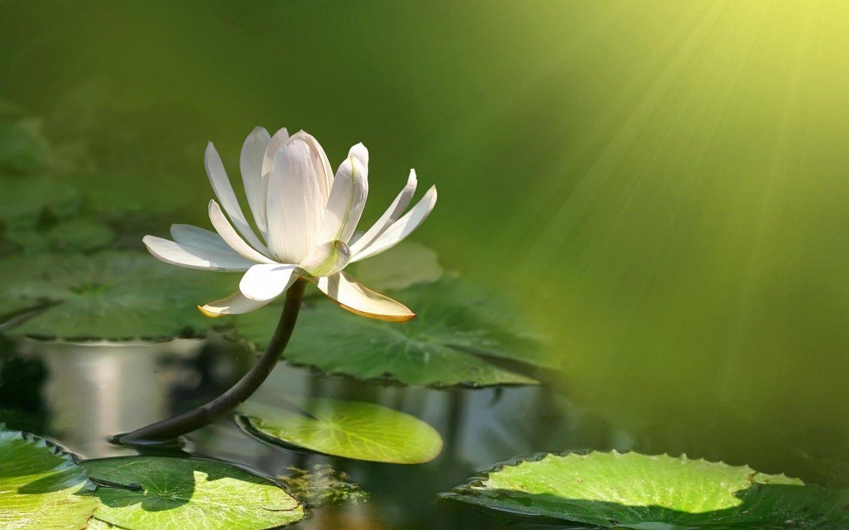 White lotus flori green light lake water nature flower fullscreen white lotus flori green light lake water nature flower fullscreen wallpaper flowers white lotus mightylinksfo Choice Image